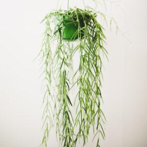Hoya linearis